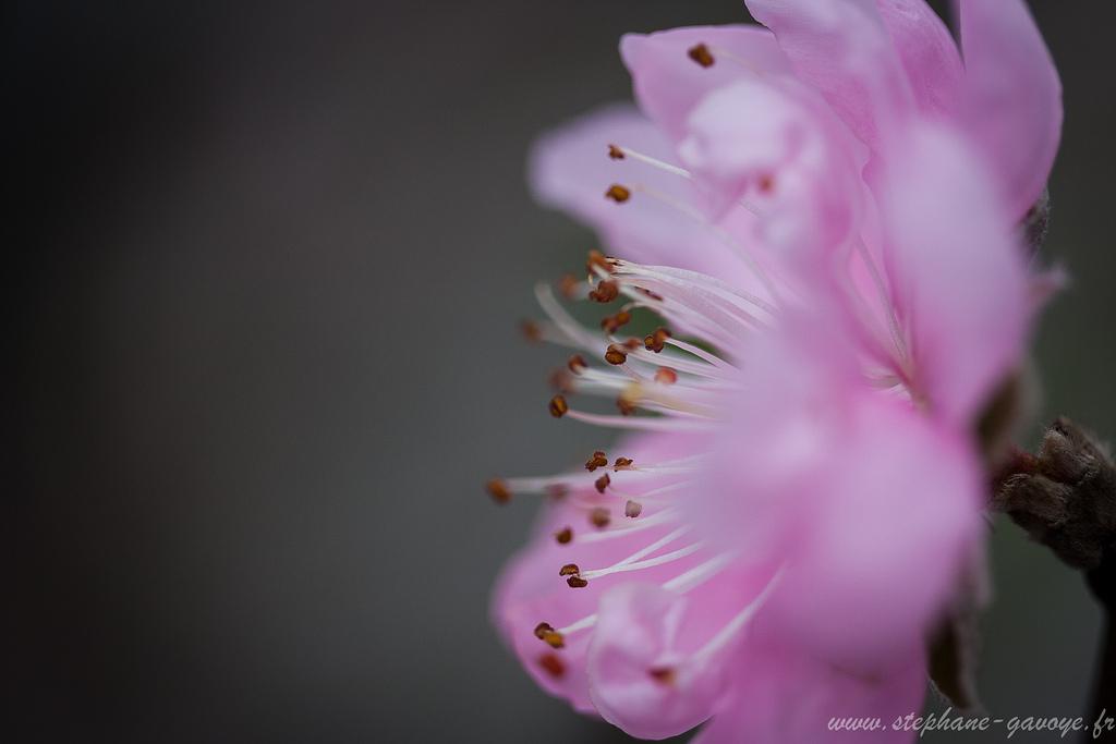 La fleur de pêcher La reine du Têt